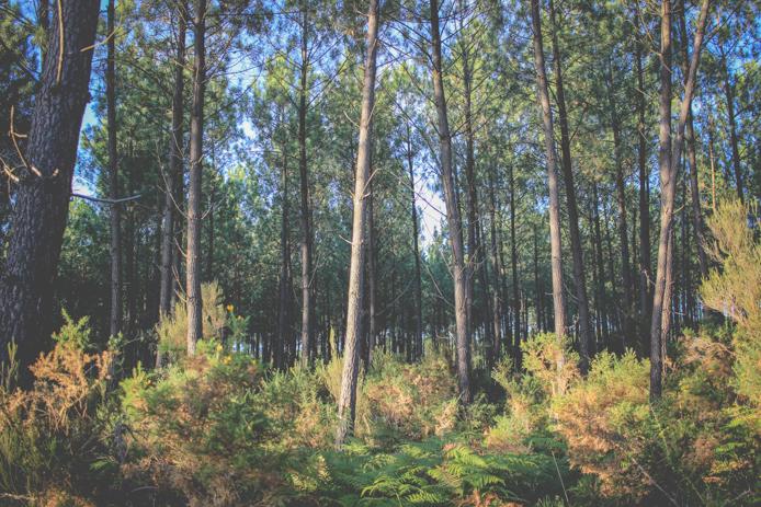 Forêt de pins des Landes où Ixxi extrait l'OPC Pin.