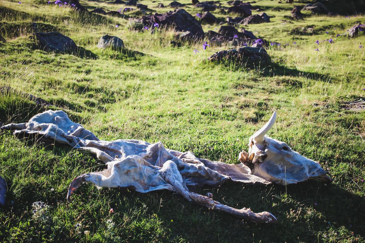 Vache morte en randonnée des lacs d'Ayous dans les Pyrénées en Vallée d'Ossau
