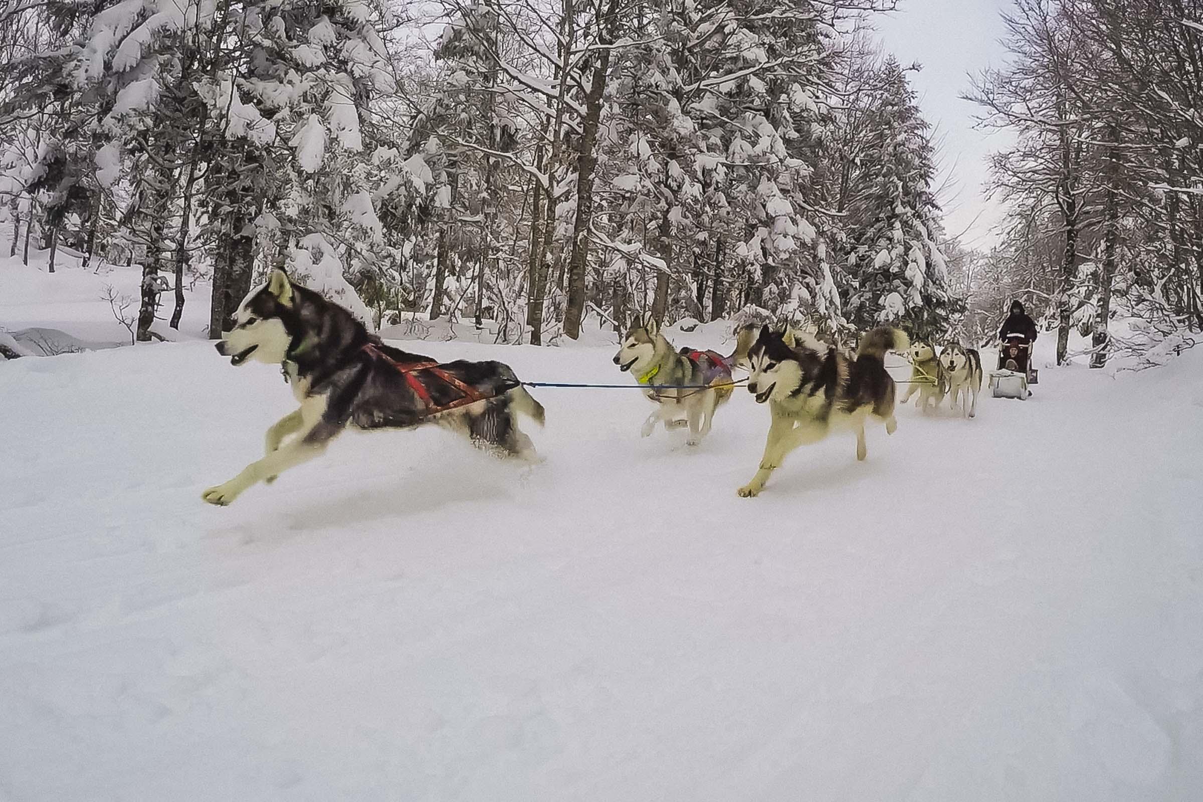 Où faire une balade en chiens de traineaux dans les Pyrénées ?